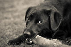 Evie the Black Lab portfolio