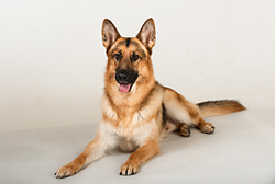 Zeus the German Shepherd Dog. portfolio
